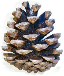 Pine Cone
